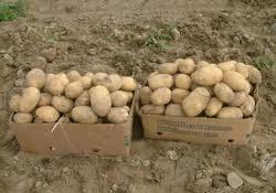 کشورهای اطراف، سیب زمینی و پیاز ایران را به دلیل نیتریت بالا وارد نمیکنند